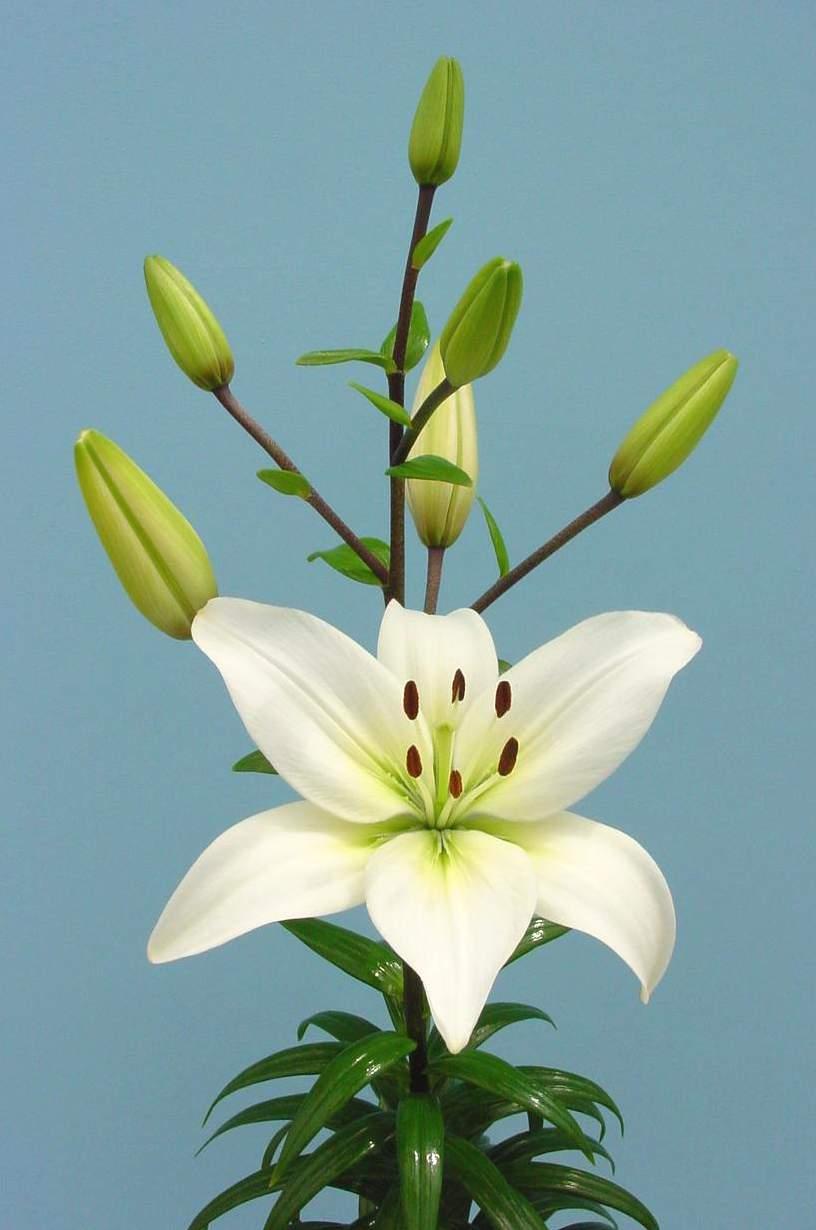 Lilies varieties izmirmasajfo